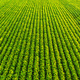 Soybean field with rows of soya bean plants. Aerial view - PhotoDune Item for Sale