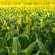 Corn field in sunset. Maize agriculture theme. - PhotoDune Item for Sale