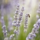 Honey bee on lavender flower - PhotoDune Item for Sale