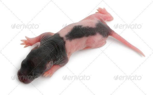 High angle view of baby rat, 5 days old, in front of white background - Stock Photo - Images
