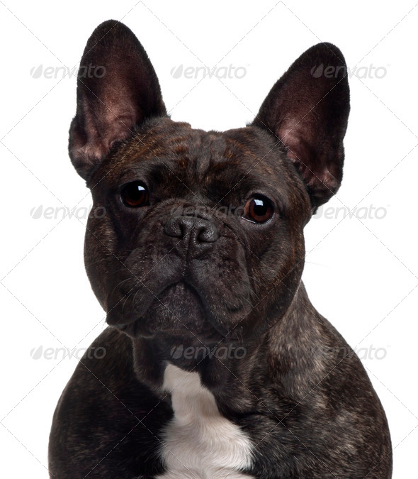 Close-up of French bulldog, 3 years old, in front of white background - Stock Photo - Images