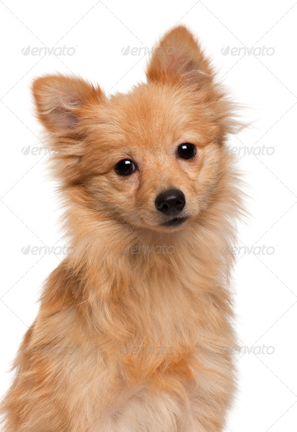Loulou de Pomeranie, 7 months old, in front of white background - Stock Photo - Images