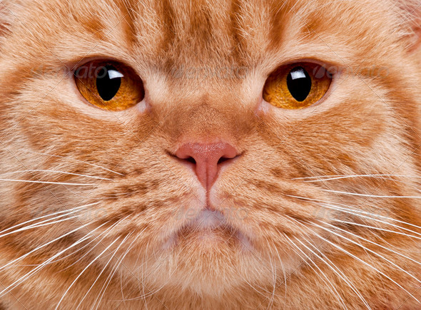 Close-up of British Shorthair cat's face, 3 years old - Stock Photo - Images