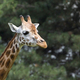 Giraffe a portrait - PhotoDune Item for Sale