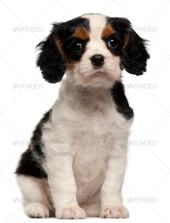 Cavalier King Charles Puppy, 2 months old, sitting in front of white background - Stock Photo - Images