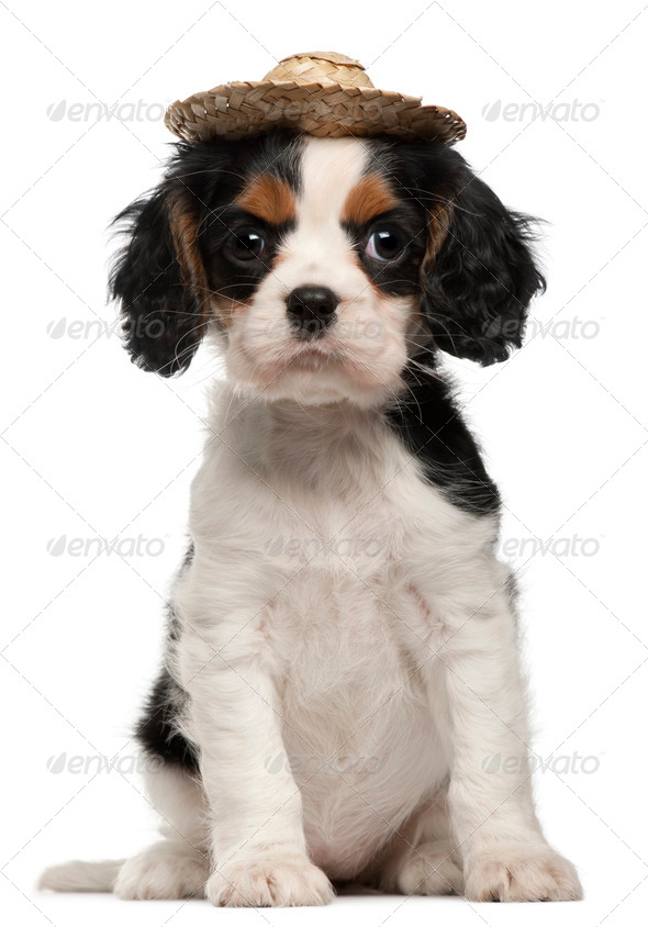 Cavalier King Charles Puppy wearing straw hat, 2 months old, sitting in front of white background - Stock Photo - Images