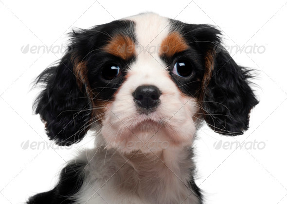 Close-up of Cavalier King Charles Puppy, 2 months old, in front of white background - Stock Photo - Images