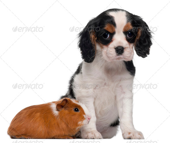 Cavalier King Charles puppy, 2 months old, and guinea pig in front of white background - Stock Photo - Images