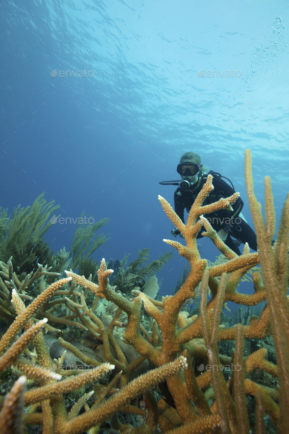 A scuba diver underwater.  Staghorn coral branches growing up from the reef. - Stock Photo - Images