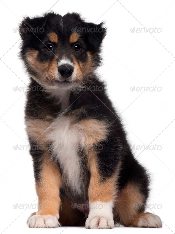 Mixed-breed puppy, 7 weeks old, sitting in front of white background - Stock Photo - Images