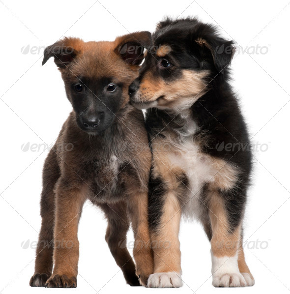 Berger Malinois and Mixed-breed puppy, 7 weeks old, standing in front of white background - Stock Photo - Images