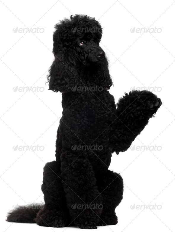 Royal Poodle, 18 months old, standing on hind legs in front of white background - Stock Photo - Images