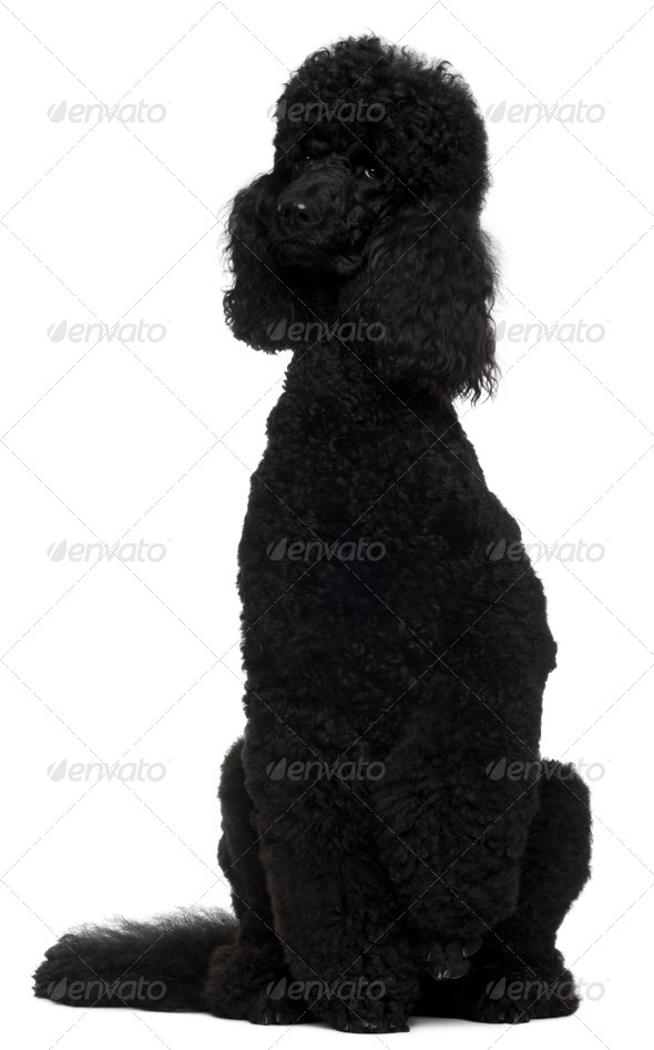 Royal Poodle, 18 months old, sitting in front of white background - Stock Photo - Images