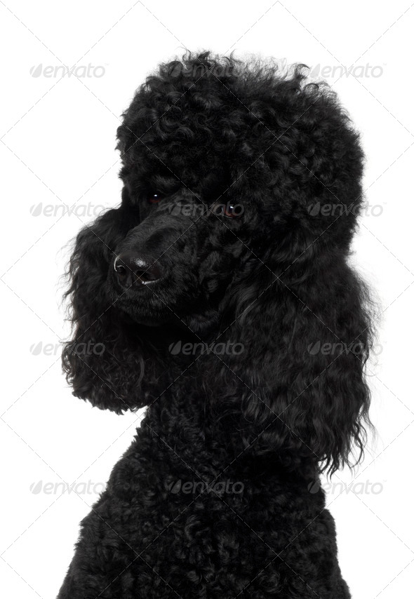 Royal Poodle, 18 months old, in front of white background - Stock Photo - Images