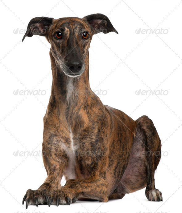 Galgo sitting in front of white background - Stock Photo - Images