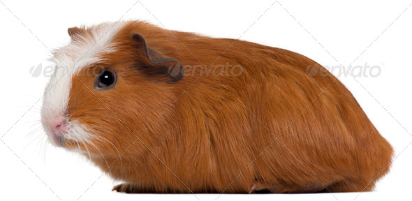 Guinea pig in front of white background - Stock Photo - Images