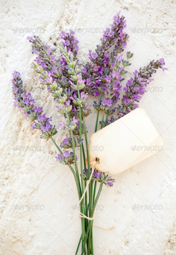 Fresh lavender - Stock Photo - Images
