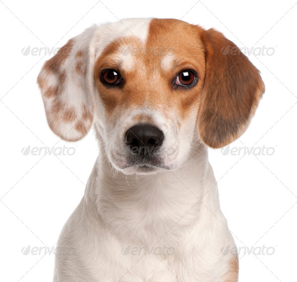 Close-up of Beagle, 1 year old, in front of white background - Stock Photo - Images