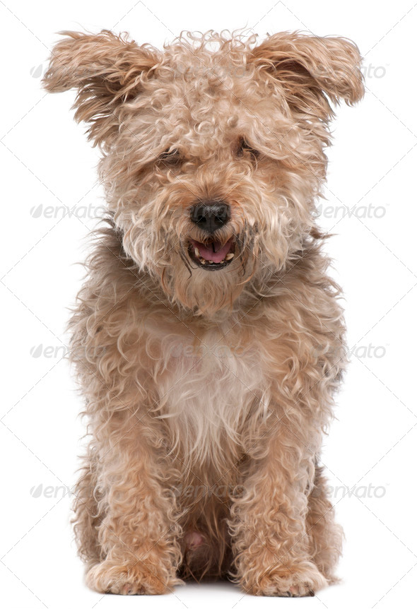 Mixed-breed dog, 6 years old, with mouth open in front of white background - Stock Photo - Images