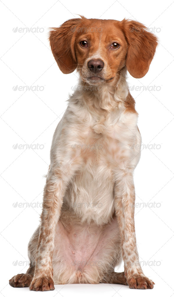 Brittany puppy, 6 months old, sitting in front of white background - Stock Photo - Images