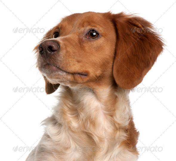 Close-up of Brittany puppy, 6 months old, in front of white background - Stock Photo - Images