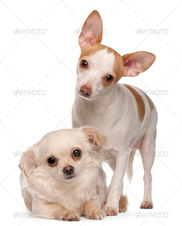 Two Chihuahua, 1 and 2 years old, in front of white background - Stock Photo - Images