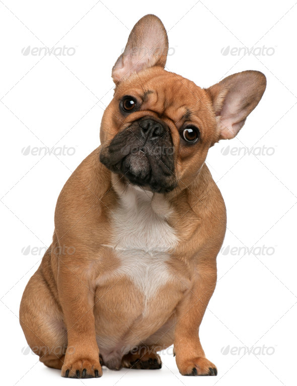 French Bulldog puppy, 5 months old, sitting in front of white background - Stock Photo - Images