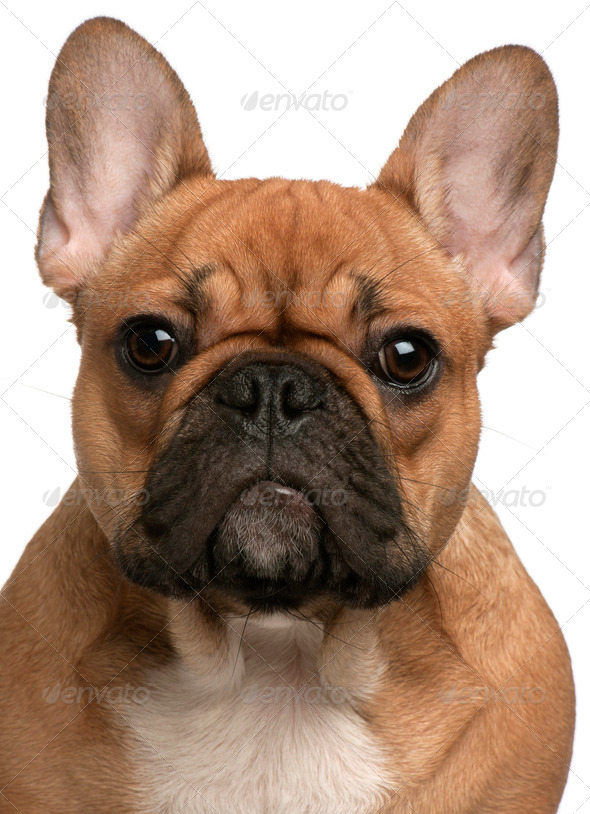Close-up of French Bulldog puppy, 5 months old, in front of white background - Stock Photo - Images