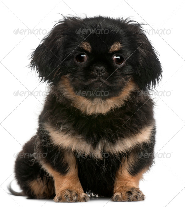 Pekingese puppy (4 months old) - Stock Photo - Images