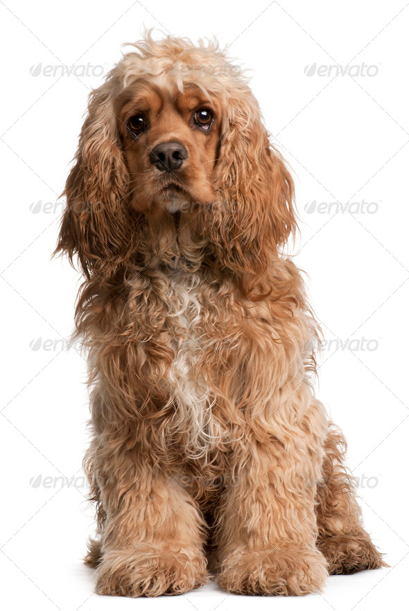 American Cocker Spaniel, 10 months old, sitting in front of white background - Stock Photo - Images