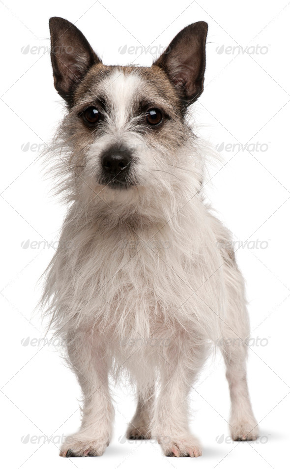 Mixed-breed dog, 2 years old, standing in front of white background - Stock Photo - Images