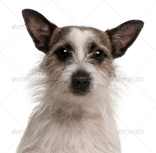 Mixed-breed dog, 2 years old, in front of white background - Stock Photo - Images