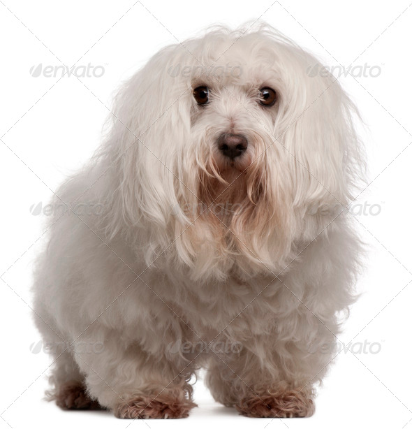 Maltese, 7 years old, standing in front of white background - Stock Photo - Images