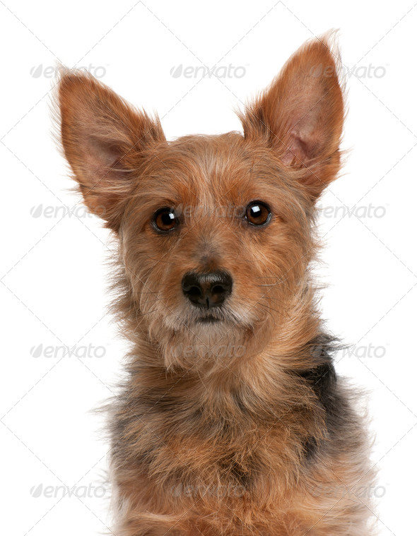 Australian Terrier dog, 9 years old, in front of white background - Stock Photo - Images