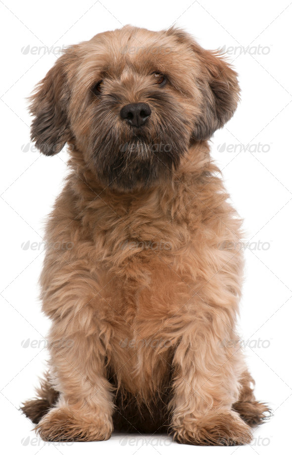 Mixed-breed dog, 6 years old, sitting in front of white background - Stock Photo - Images