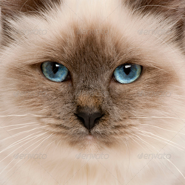 Close-up of Birman cat's face, 5 months old - Stock Photo - Images