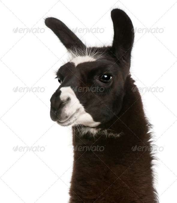 Llama, Lama glama, in front of white background - Stock Photo - Images
