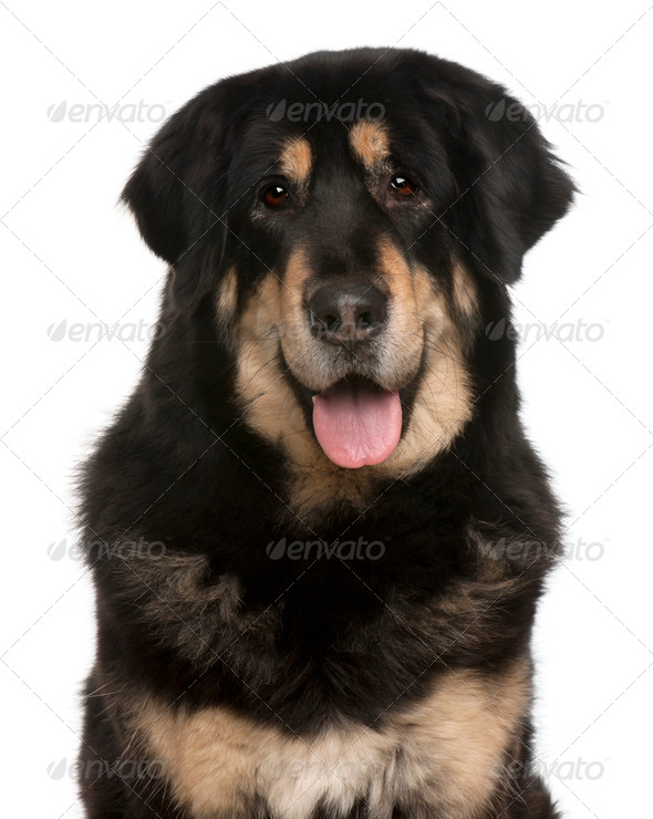 Mixed-breed dog panting, 5 months old, in front of white background - Stock Photo - Images