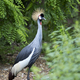 Crowned cranes in the wild - PhotoDune Item for Sale