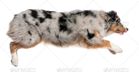 Australian Shepherd dog jumping, 7 months old, in front of white background - Stock Photo - Images