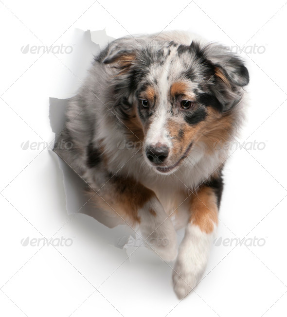 Australian Shepherd dog jumping out of white background, 7 months old - Stock Photo - Images