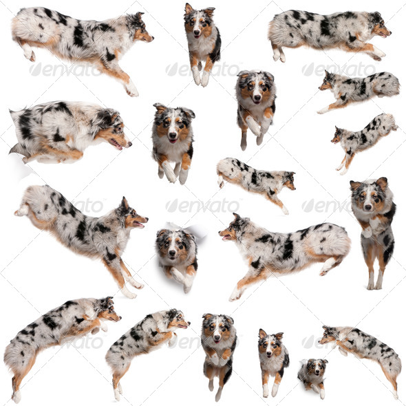 Composition of Australian Shepherd dogs jumping, 7 months old, in front of white background - Stock Photo - Images