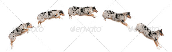 Composition of Australian Shepherd dogs jumping in a row, 7 months old, in front of white background - Stock Photo - Images