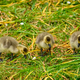 Canada goose goslings - PhotoDune Item for Sale