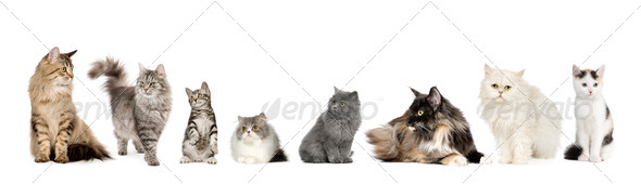 Group of cats in a row : Norwegian, Siberian and persian cat - Stock Photo - Images