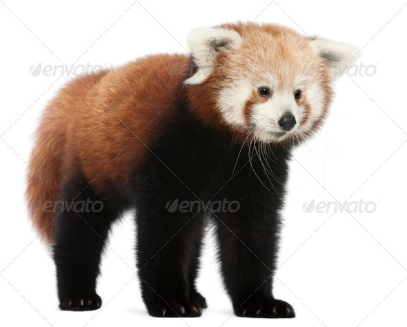 Young Red panda or Shining cat, Ailurus fulgens, 7 months old, in front of white background - Stock Photo - Images