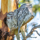 A Trio of Tawny Frogmouths - PhotoDune Item for Sale