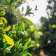 Close up of orange trees in the garden, selective focus - PhotoDune Item for Sale