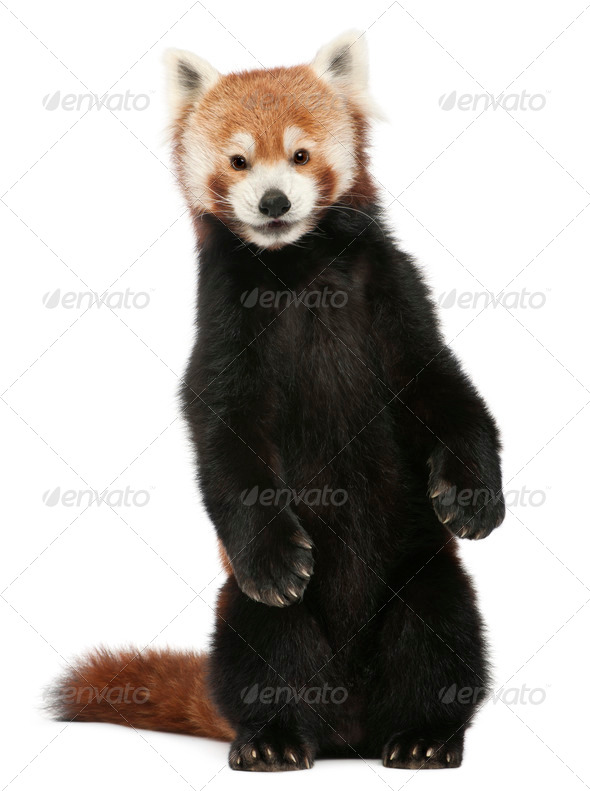 Old Red panda or Shining cat, Ailurus fulgens, 10 years old, in front of white background - Stock Photo - Images