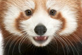 Close-up of Young Red panda or Shining cat, Ailurus fulgens, 7 months old